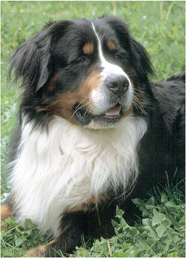 Mein  Bernersennenhund Charly