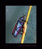 Mein Blauer Käfer...