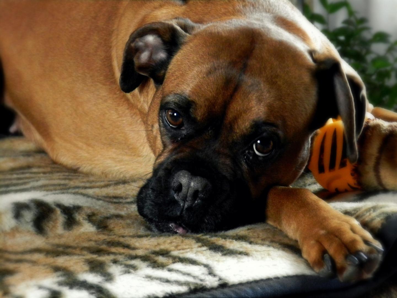 Mein Boxerhund Vicktoria