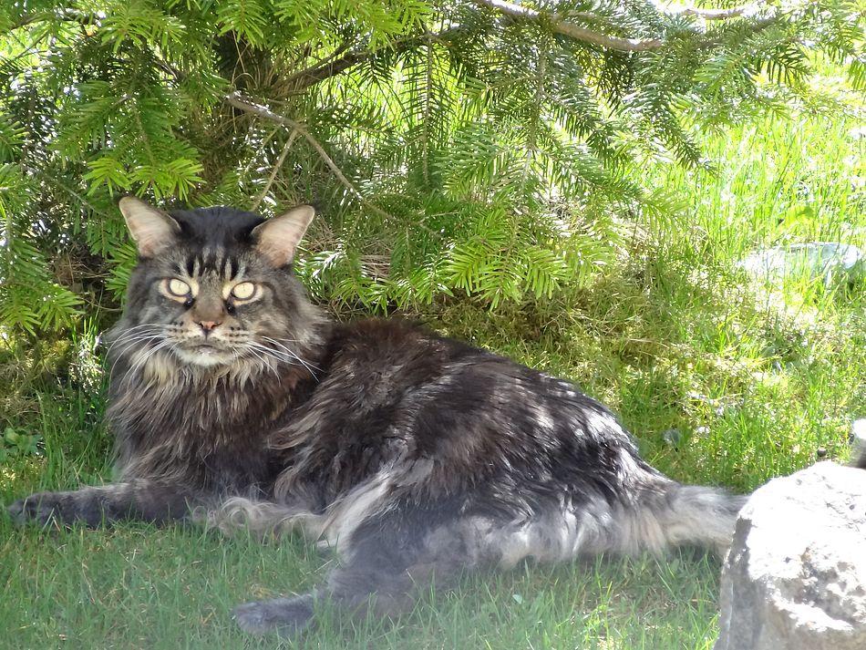 Mein Ernesto, Maine Coon