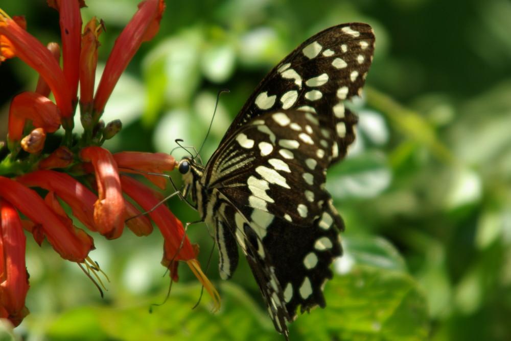 mein erste Schmetterling - Hurra............