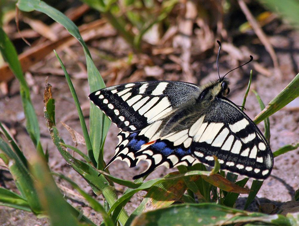 Mein erster 2008 und gleich  mein erster Papilio machaon (Schwalbenschwanz)