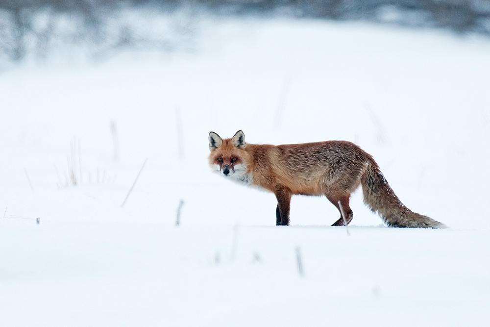 Mein erster Fuchs