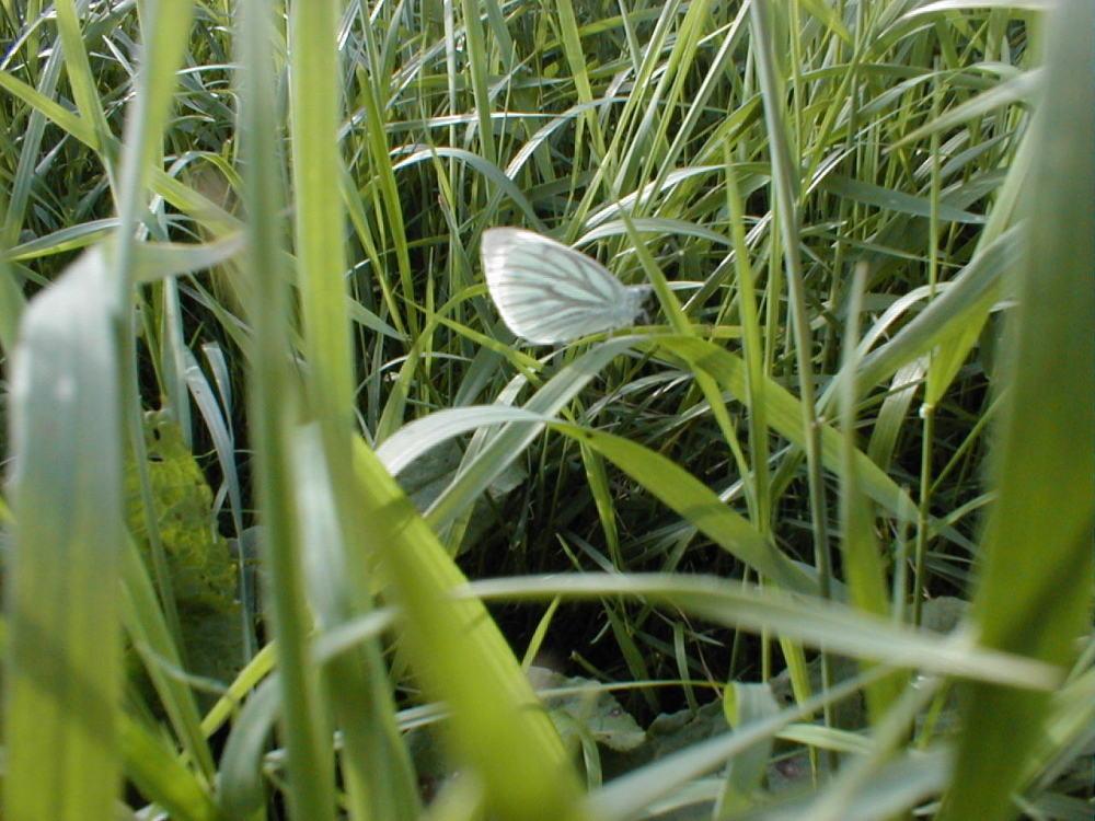 mein erster geglückter Schmetterling...