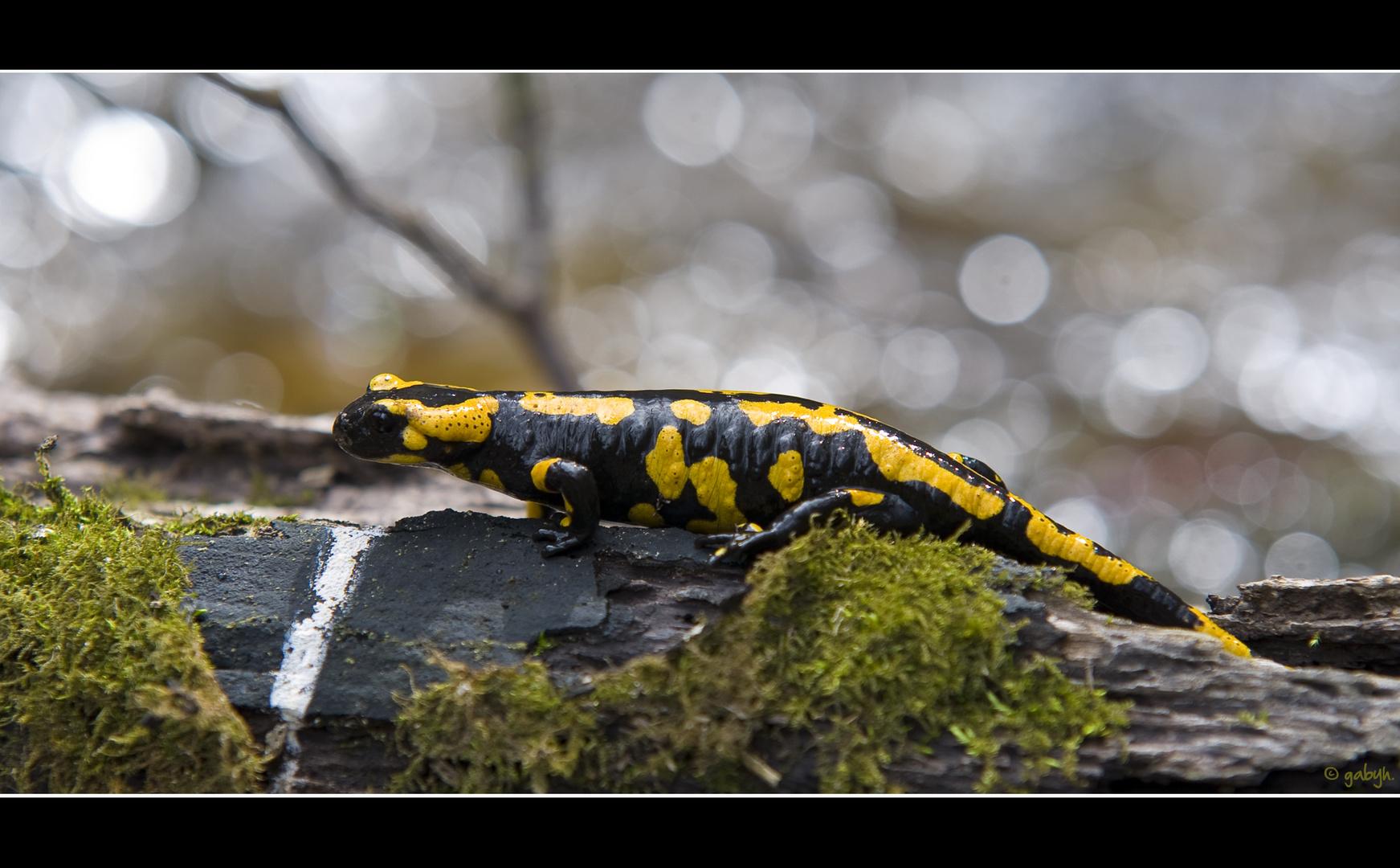 Mein erster Salamander!