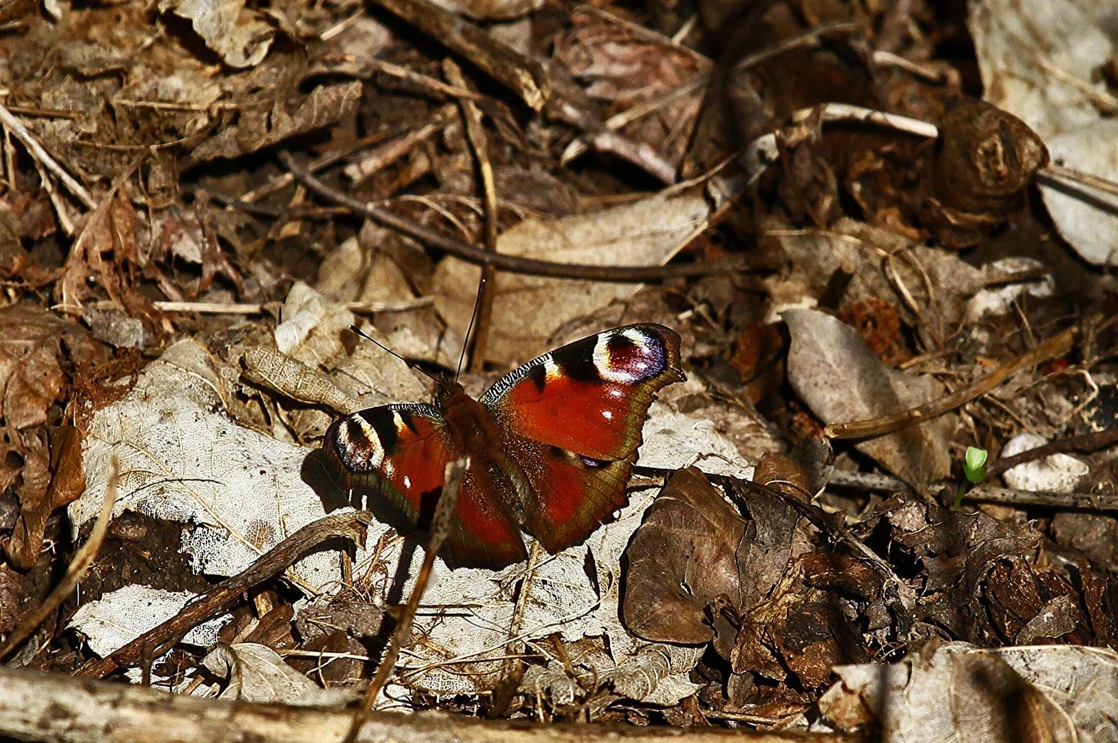 Mein erster Schmetterling...