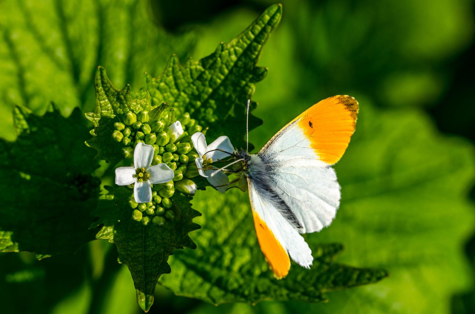 Mein erster Schmetterling (Aurorafalter)
