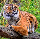 Mein erster Tiger auf einem Ast