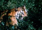 Mein erster Tiger