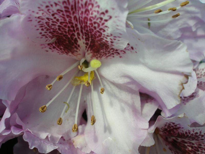 Mein erstes Rhododendron-Makro in 2008