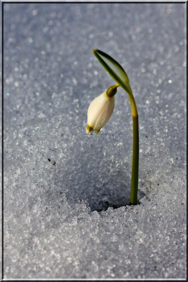 Mein erstes Schneeglöckerl (Frühlingsknotenblume)
