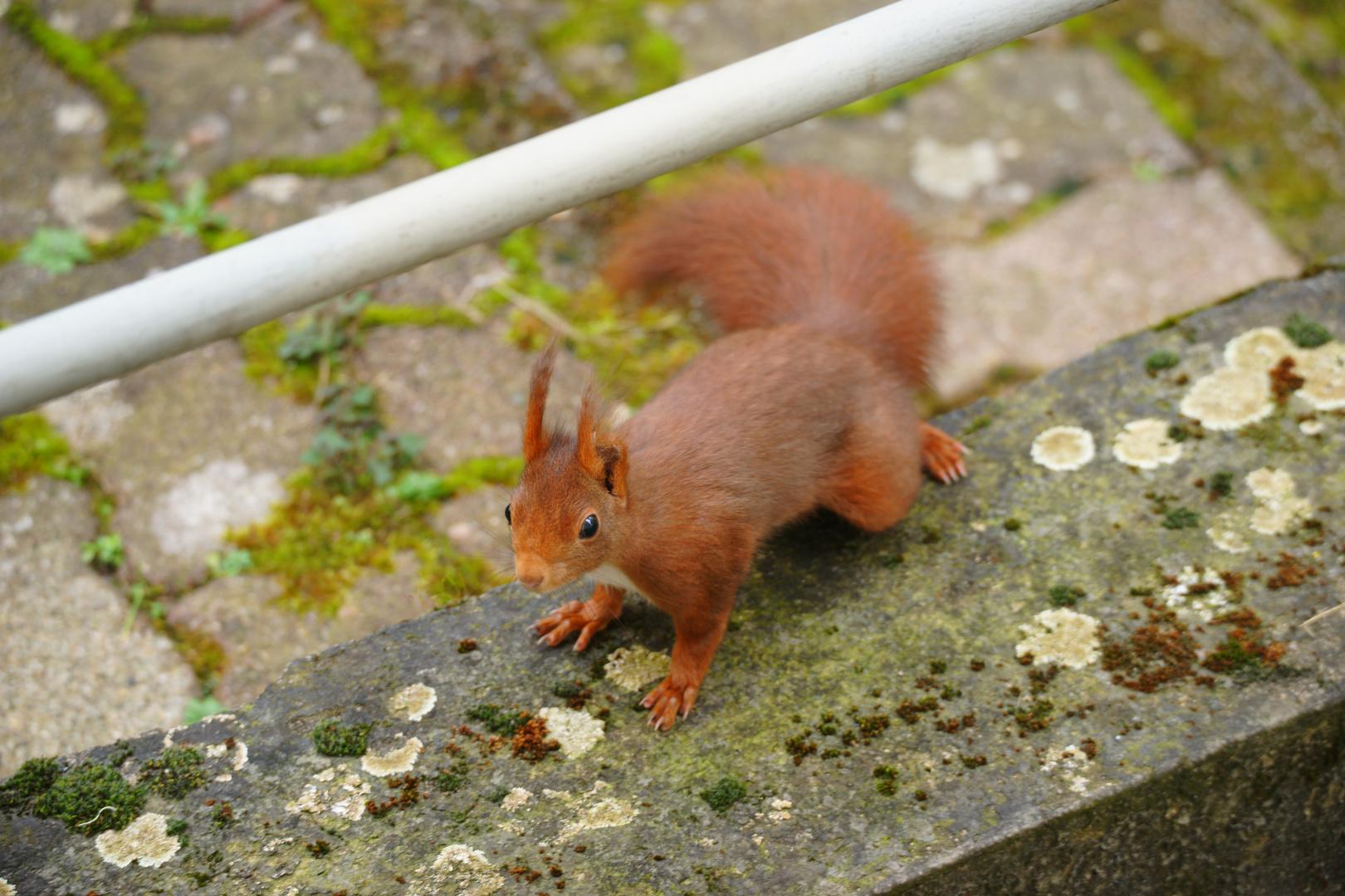 mein Freund, das Eichhörnchen