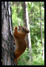 Mein Freund das - Eichhörnchen (Sciurus vulgaris)