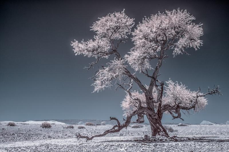 Mein Freund - der Kameldornbaum auf Tsondab Valley (Namibia)