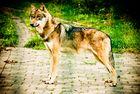 Mein Freund - der Wolf