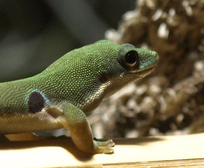 Mein Gecko