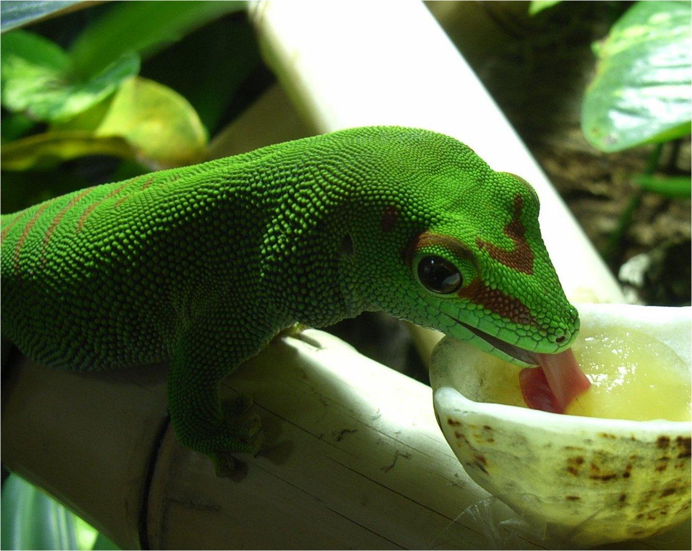 Mein Gecko mag Apfelmus