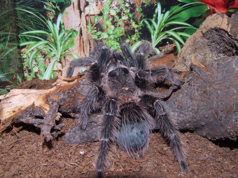 Mein Großes L. Parahybana Männchen