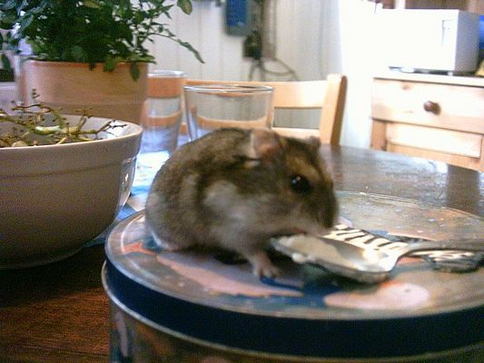Mein Hamster Tiko