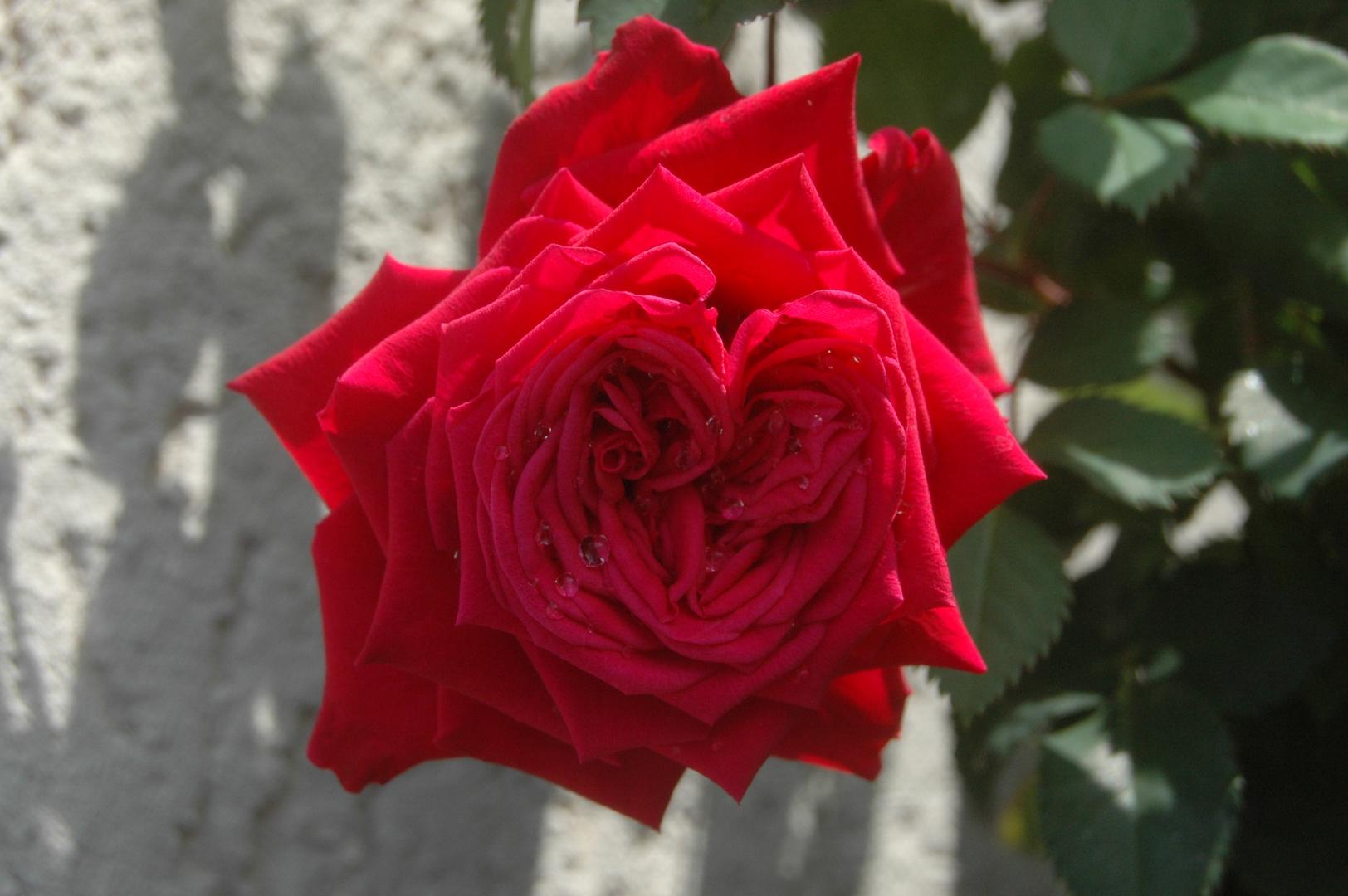 mein herz in form einer rose