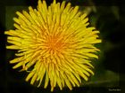 Mein heutiges Mittwochblümchen