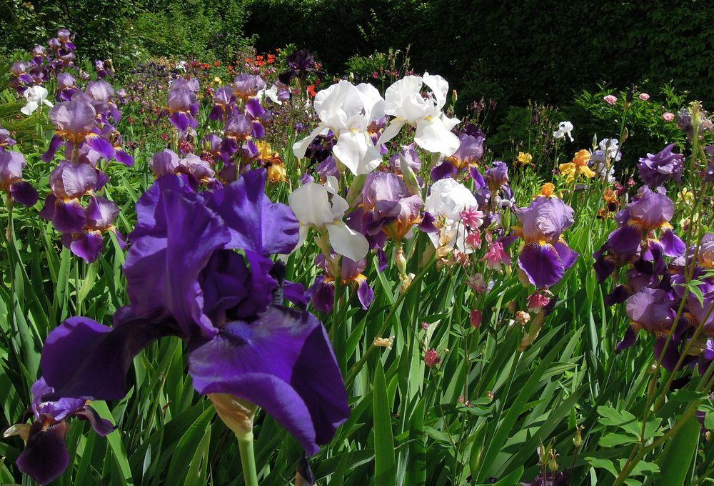 mein iris garten foto bild pflanzen pilze flechten bl ten kleinpflanzen iris und. Black Bedroom Furniture Sets. Home Design Ideas