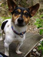 Mein Jack-Russel-Terrier