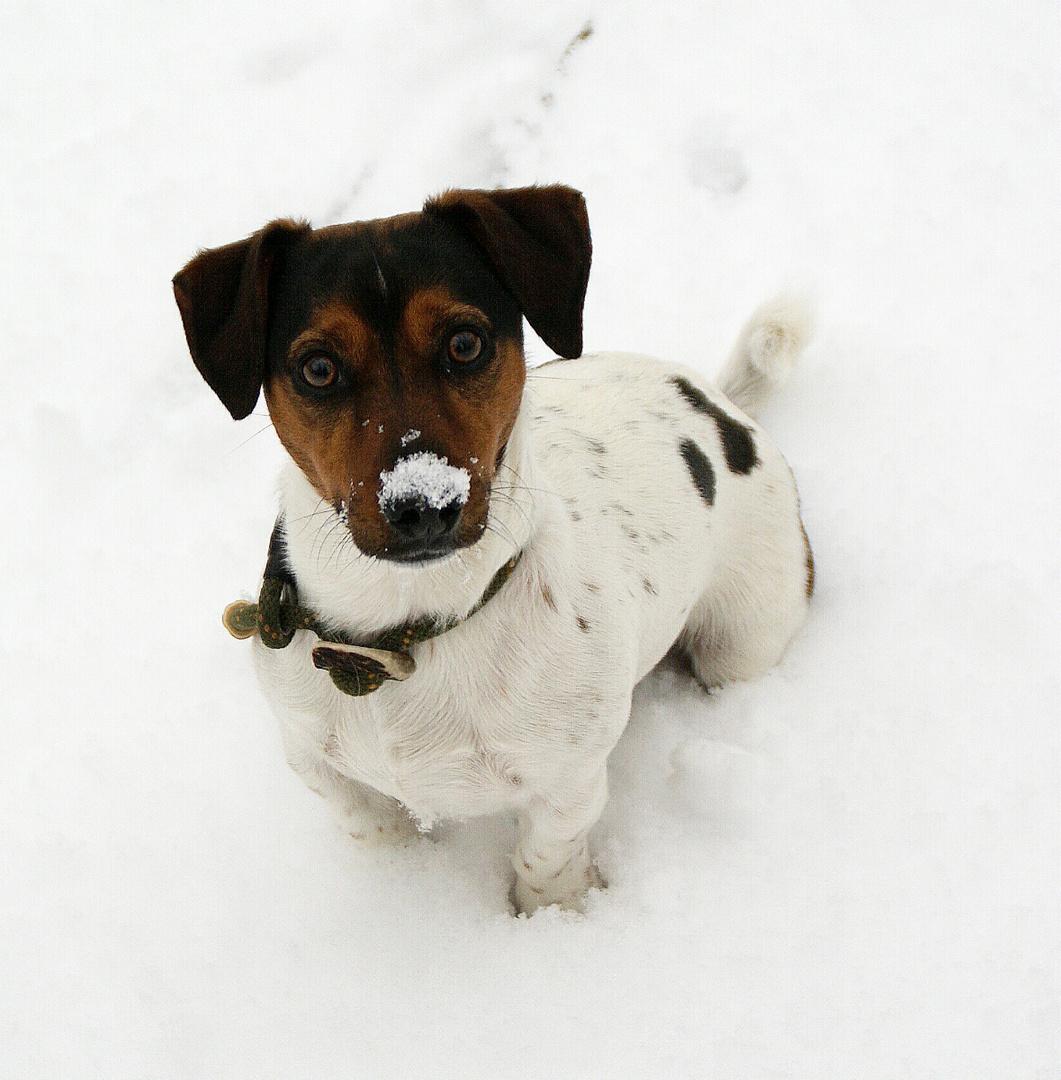 Mein Jack Russell Toni, im Schnee !