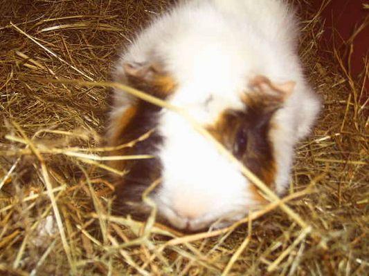 Mein Kampfmeerschweinchen =)