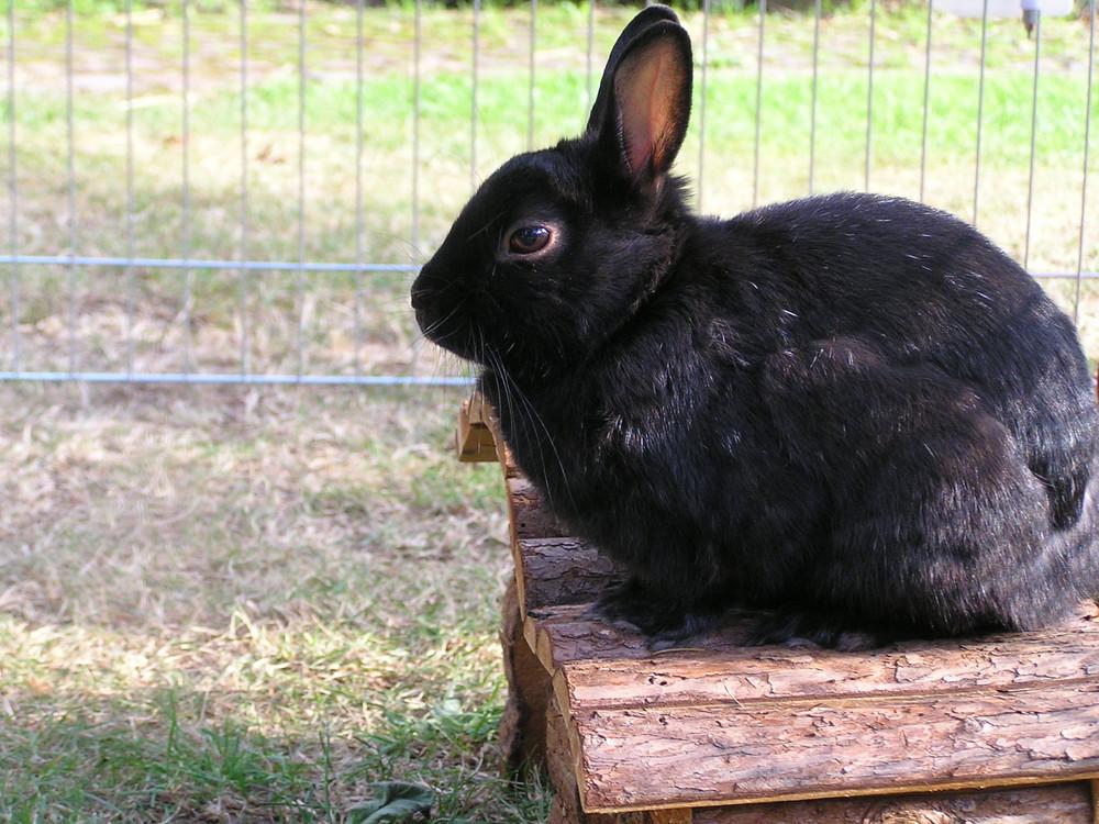 mein Kaninchen Blacky