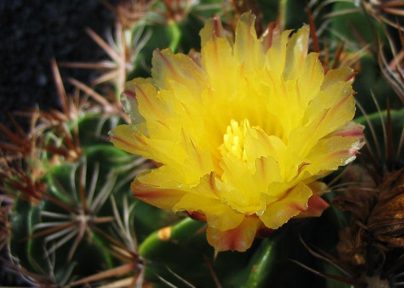 Mein kleiner gelber Kaktus...
