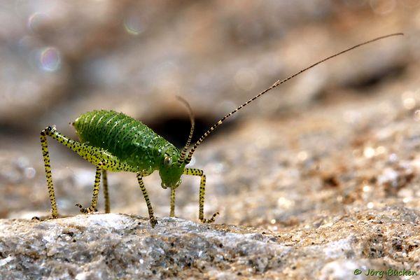 Mein kleiner grüner Freund namens Leptophyes punctatissima