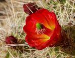 Mein kleiner roter Kaktus