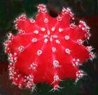 """Mein kleiner """"roter"""" Kaktus"""