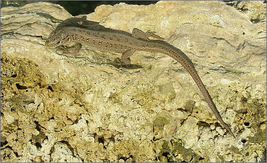 mein kleiner steingarten besucher foto bild natur amphibien reptilien wildlife bilder. Black Bedroom Furniture Sets. Home Design Ideas