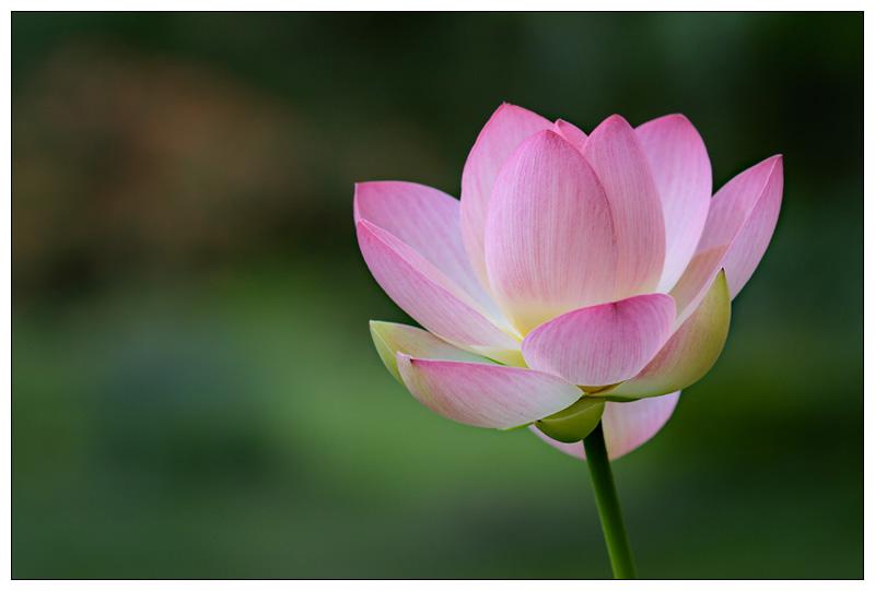 Mein letztes Lotus Bild