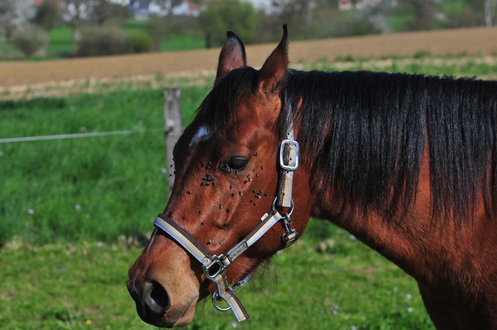 MEIN LIEBLING SHEILA, Quarterhorse-Stute geb 2004