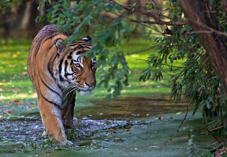 Mein Lieblings Tiger ...............