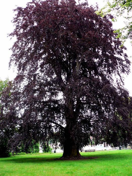 mein lieblingsbaum eine rotbuche foto bild pflanzen pilze flechten b ume einzelb ume. Black Bedroom Furniture Sets. Home Design Ideas