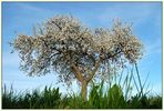 Mein Lieblingsbaum.... (Frühling)