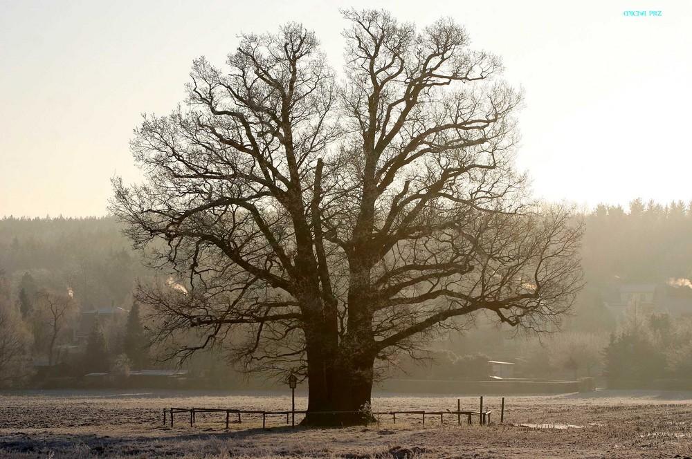Mein Lieblingsbaum im Morgendunst