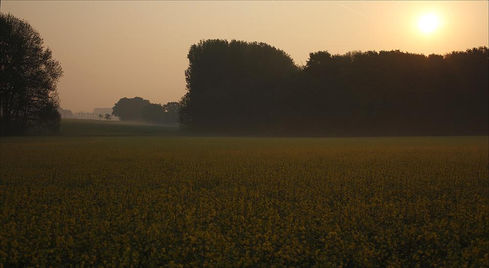 mein Lieblingsrapsfeld am frühen Morgen