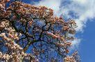 'Mein' Magnolienbaum von Volker a.H.