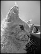 Mein Maine Coon Kater Nemo