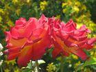 Mein München - Rosensorte
