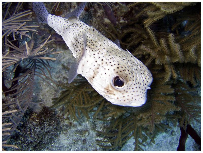 Mein neues Hintergrundbild.... ein Igelfisch.