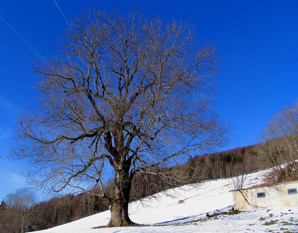 Mein Nußbaum