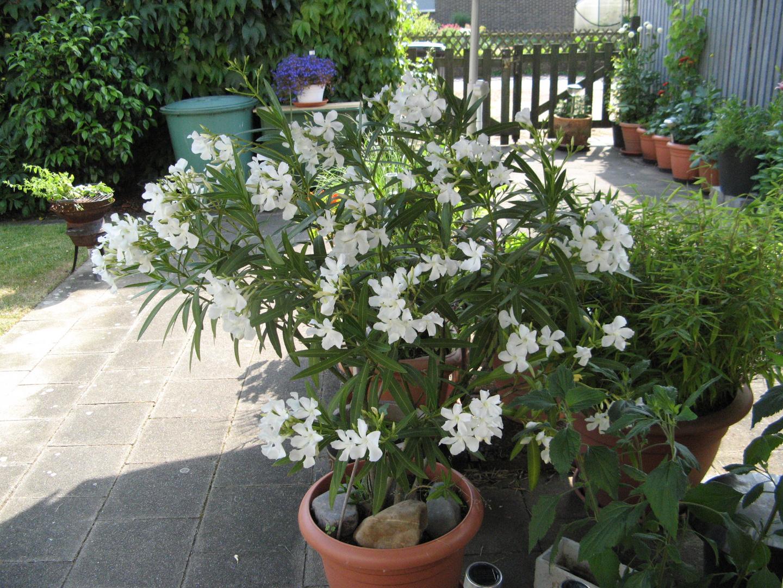 mein Oleander ist in diesem Jahr förmlich explodiert