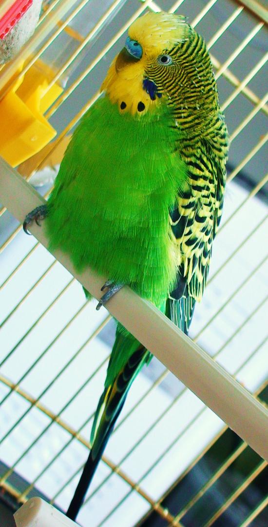 Mein Papagei:-)