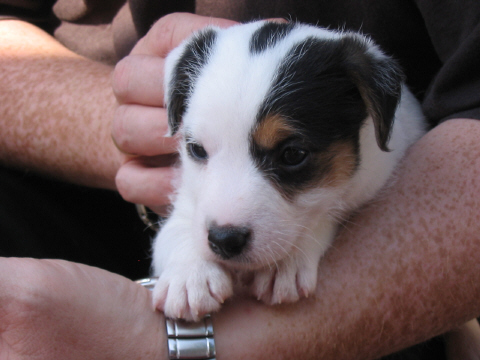 Mein Parson Jack Russel Terrier